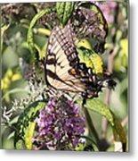 Eastern Tiger Swallowtail - Butterfly Metal Print
