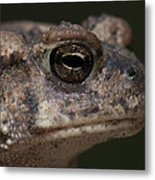 Eastern Toad Detail Metal Print