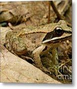 Eastern Wood Frog Metal Print