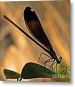 Ebony Damselfly Metal Print