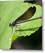 Ebony Jewelwing Damselfly  Metal Print