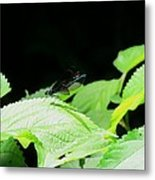 Ebony Jewelwing Male Metal Print