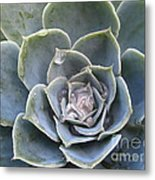 Echeveria With Water Drops Metal Print