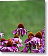 Echinacea Purpurea Metal Print
