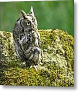 Echo Of An Eastern Screech Owl  Metal Print