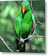 Eclectus Parrot-1 Metal Print