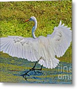 Egret Full Wing Span Metal Print