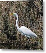 Egret In Marsh In Display  Metal Print