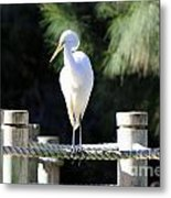 Egret Metal Print by Shannon Rogers