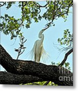 Egret Waiting For Mating  Metal Print