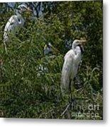 Egrets In Tree Metal Print