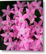 Egyptian Star Flowers Or Penta Metal Print