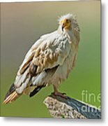 Egyptian Vulture Metal Print