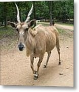 Eland Antelope Out In The Open Metal Print