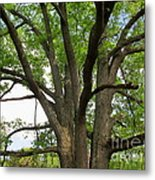 Elder Oak Metal Print