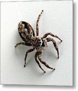 Elegant Jumping Spider Metal Print by Christina Rollo