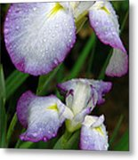 Elegant Purple Iris Metal Print