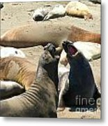 Elephant Seal Birthing Grounds Two Elephant Seal Bulls Fighting Metal Print by Artist and Photographer Laura Wrede