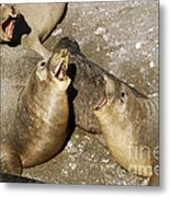 Elephant Seal Confrontation Metal Print by James L. Amos
