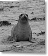 Elephant Seal Metal Print