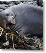 Elephant Seal Of Ano Nuevo State Reserve Metal Print