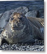 Elephant Seal Pup... Metal Print