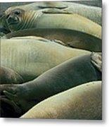 Elephant Seal Pups Metal Print