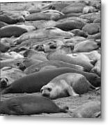 Elephant Seal Sea Metal Print by Gwendolyn Barnhart