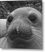 Elephant Seal Smirk Metal Print by Gwendolyn Barnhart