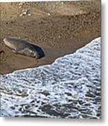Elephant Seal Sunning On Beach Metal Print