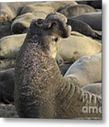 Elephant Seals Metal Print