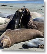 Elephant Seals Metal Print by Mike Ronnebeck