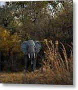 Elephant Trail Metal Print