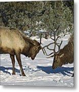 Elk  Bulls Fighting In Yellowstone Metal Print