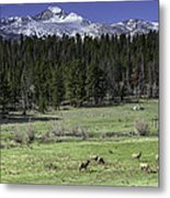 Elk Cows In Beaver Meadows Metal Print by Tom Wilbert