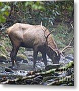 Elk Drinking Water From A Stream Metal Print