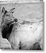 Elk IIi Metal Print