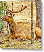 Elk In Kiabab National Forest Arizona Metal Print