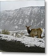 Elk In The Park Metal Print