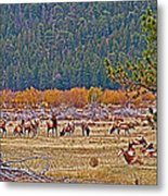 Elk Near Cub Lake Trail In Rocky Mountain National Park-colorado  Metal Print