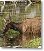 Elk Pictures 36 Metal Print