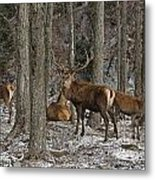 Elk Pictures 45 Metal Print