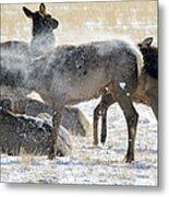 Elk Shaking Off Snow   #0530 Metal Print
