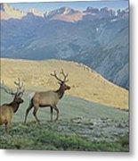 Elk Surprise.. Metal Print