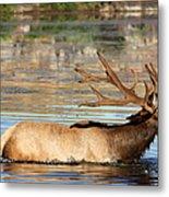 Elk Cooling Down In Lake Metal Print