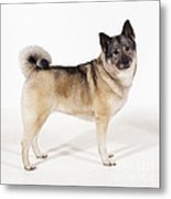 Elkhound Dog Metal Print