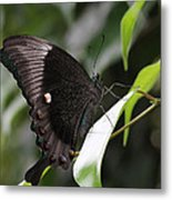Emerald Peacock Swallowtail Butterfly #6 Metal Print
