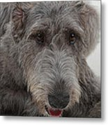 Irish Wolfhound IIi Metal Print