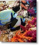 Emperor Angelfish On A Reef Metal Print