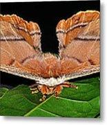 Emperor Gum Moth - 6 Inch Wing Span Metal Print